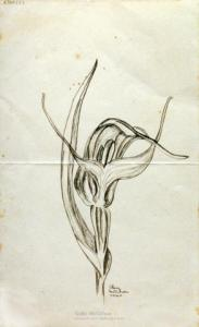 <em>[New Zealand ground orchid, Pterostylis Banksii]</em>, 1940