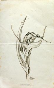<em>[New Zealand ground orchid, Pterostylis Banksii]</em>, 1940